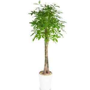 파키라(사기분)-공기정화탁월