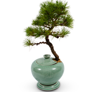 도자기소나무분재30호