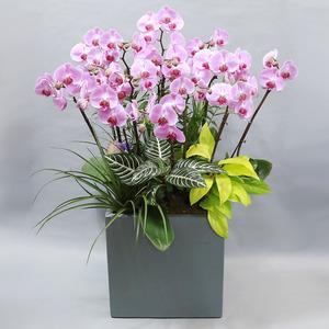 호접란(연핑크)●축하선물