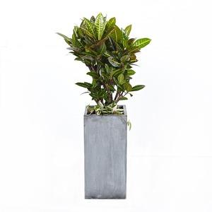 크로톤(사각분)-개업선물